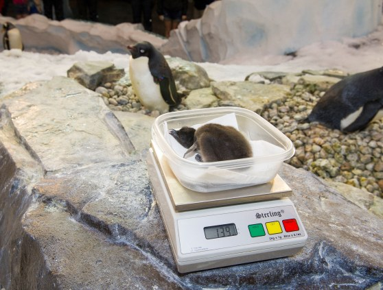 SeaWorld Orlando Welcomes Penguin Chicks_Adelie Chick (1)