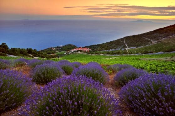 Lavenders of Hvar