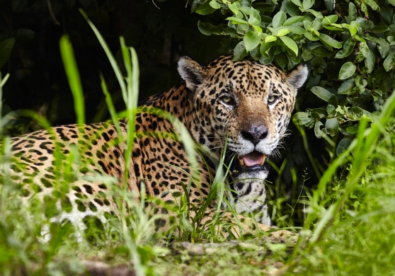 olhos-do-pantanal_onca-pintada